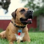 "Boxer/Mastiff mix ""Levee"" rocks a good down/stay outside!"