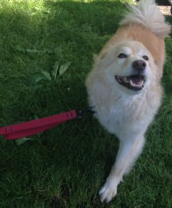 Golden Mix Wally smiling on leash
