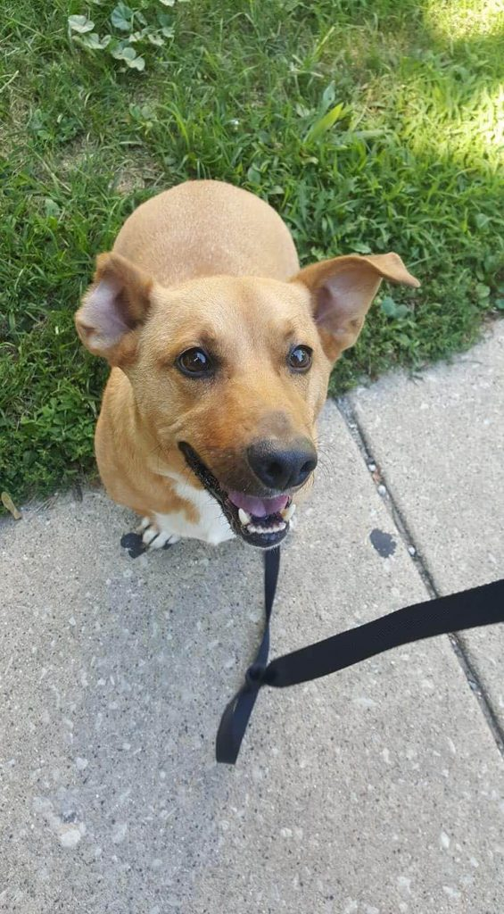 "Corgi Mix ""Lucky"" smiling after recovering from a dog attack that left him with one ear"