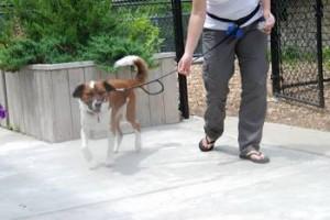 Jack walking on a leash