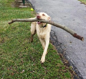 Loki the Lab carrying a stick