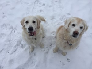 Happy golden retriever duo, Senior Sam and Puppy Sadie