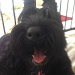 "Giant Schnauzer ""Molly"" smiling on her bed"