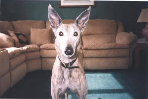 Dog standing in front of sofa