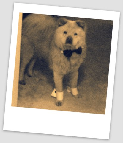 "Handsome Chow ""Indy"" posing in his doggie tuxedo"