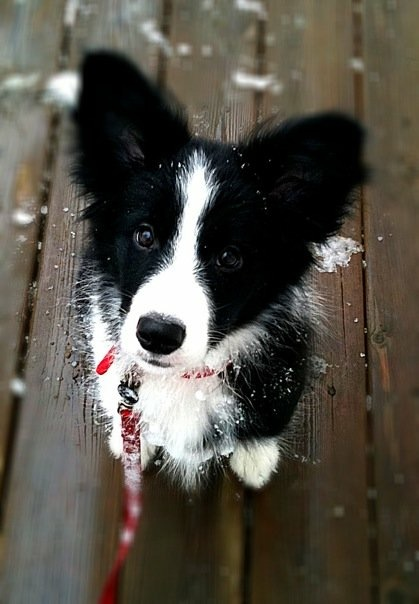 Kaia, the Border Collie demonstrating that you can not judge a dog by his or her looks