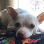"""Chihuahua """"Carter"""" chilling out so his parents can relax"""